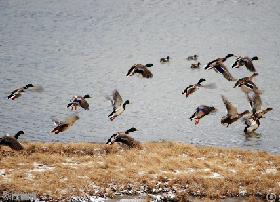冬季来香格里拉观鸟