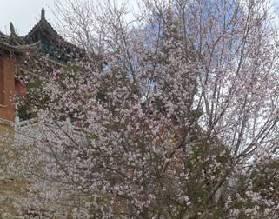 春到古城桃花开