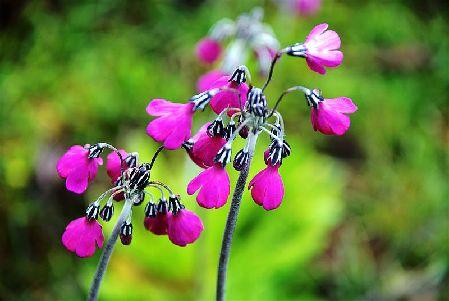 香格里拉进入最艳丽的花季