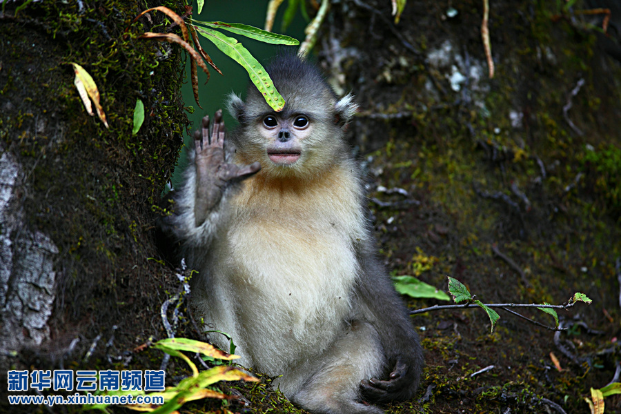 雪山精灵——滇金丝猴