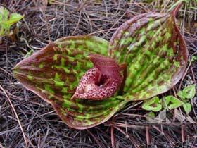 香格里拉珍稀植物