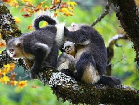 秋游维西:漫步银杏林赏滇金丝猴