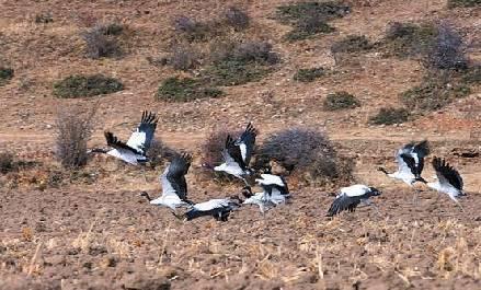 黑颈鹤如约而至