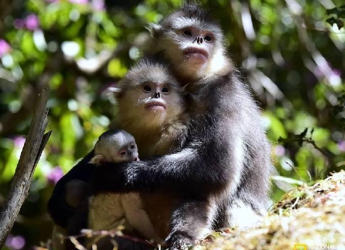 滇金丝猴家庭故事