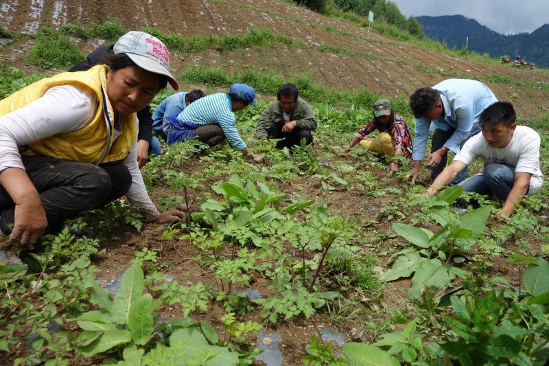 维西县:以订单种植推进产业脱贫