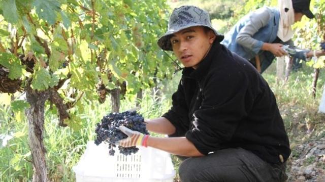 云岭乡斯农村的葡萄丰收了