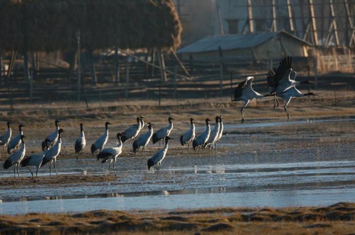 上万只候鸟到纳帕海越冬