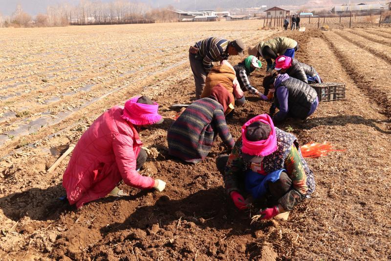 香格里拉市小中甸镇和平村村民栽种药材