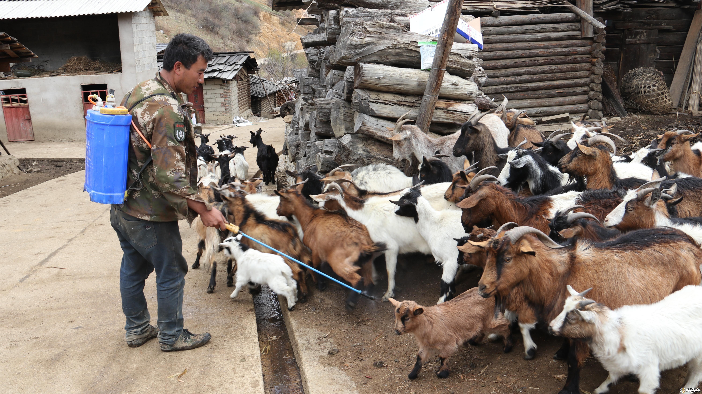 维西县全力做好动物疫情处置工作