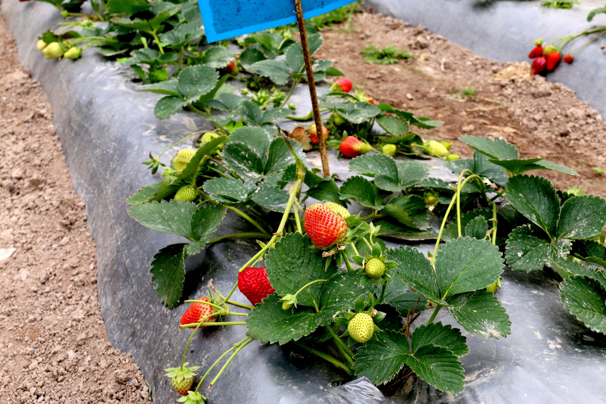 洛吉古村民小组的无公害草莓熟了