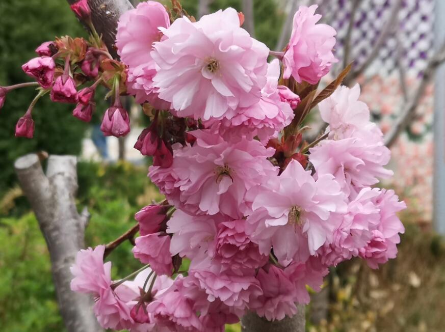 人间四月芳菲尽 高原百花始盛开