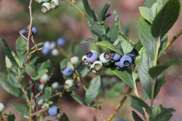 攀天阁:岔枝洛村的百亩蓝莓熟了等你采撷