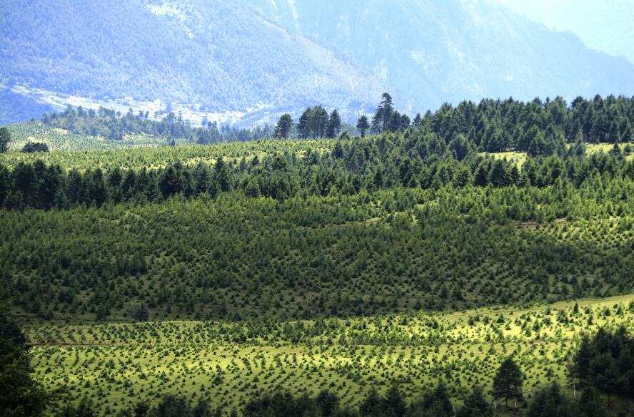 红旗村成片的退耕还林地
