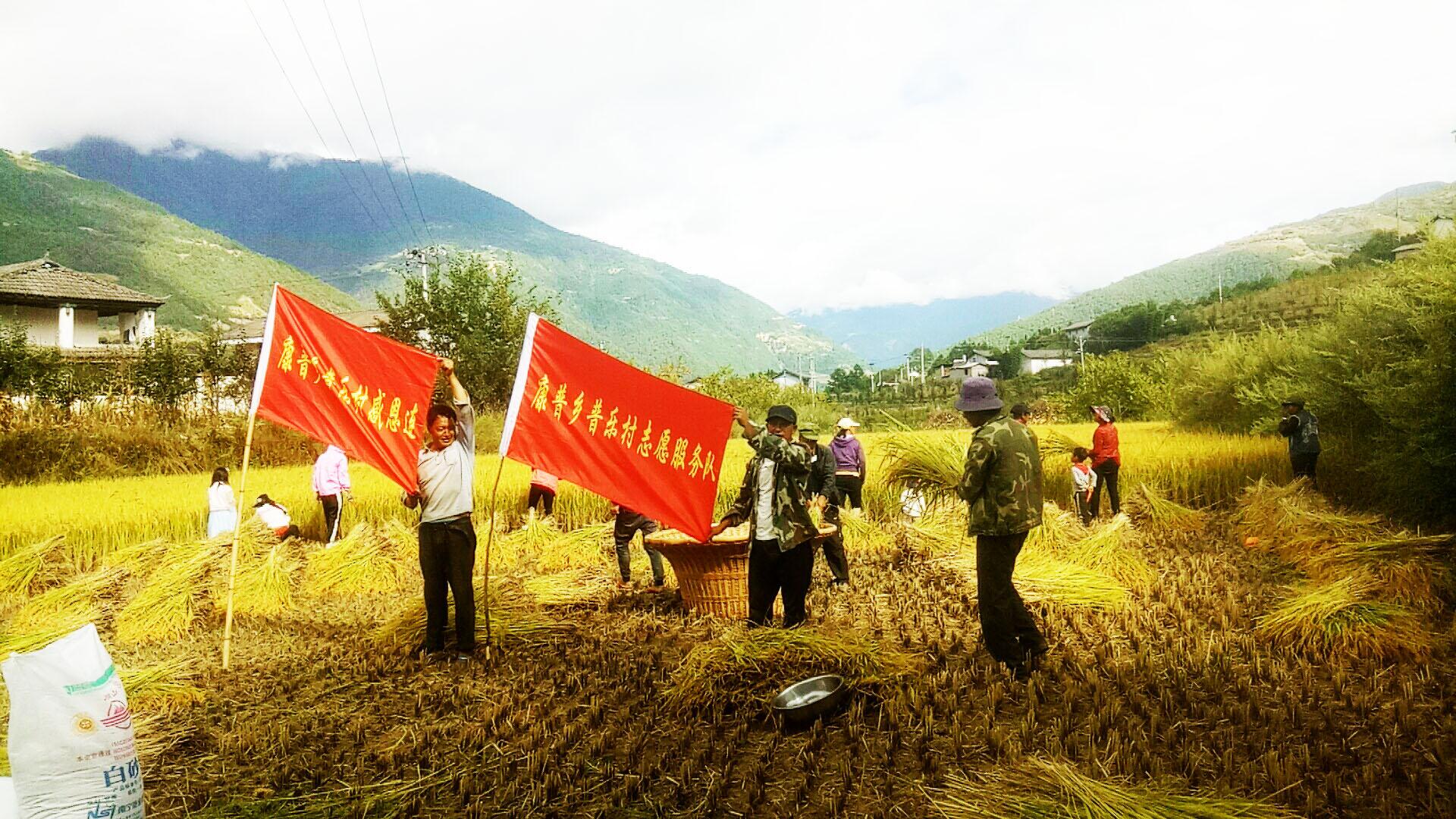 普乐村志愿服务队帮助困难党员收割庄稼