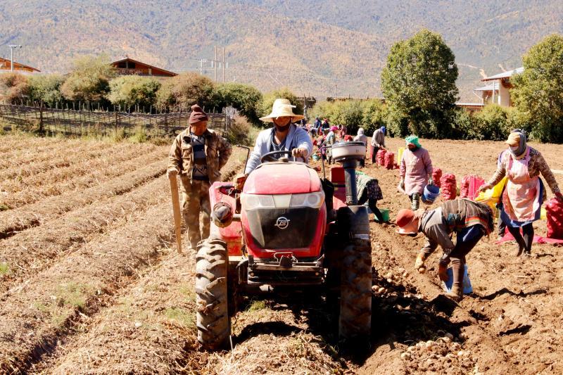 贡卓村:600亩马铃薯种薯喜获丰收