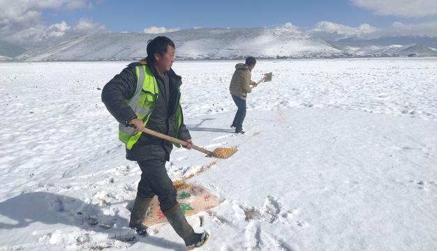 人工投食 确保纳帕海鸟儿不挨饿