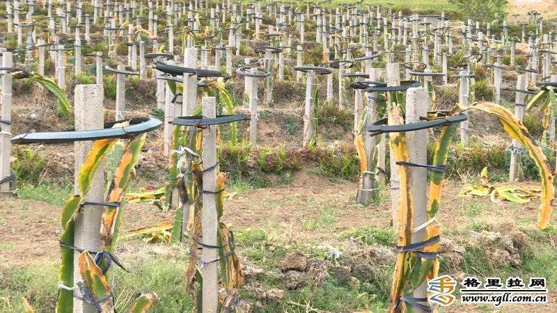 霜冻天气导致三坝乡部分地区农作物受灾