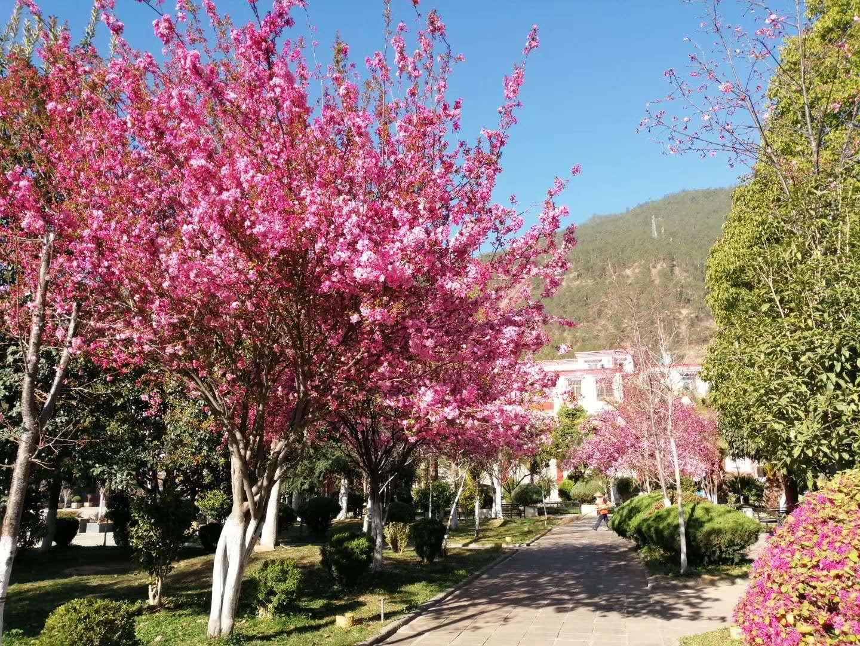 开发区樱花朵朵开