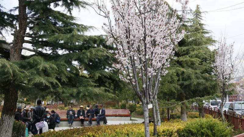 香格里拉繁花绿树成为城市美丽的风景