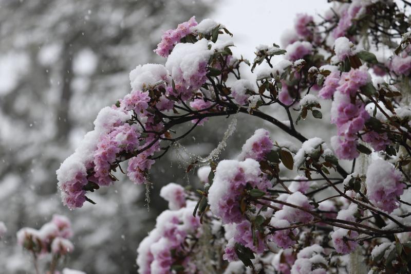 4月的迪庆高原雪花与杜鹃同时绽放