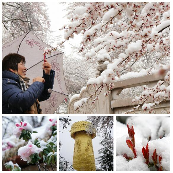 香格里拉:绿树红花遇白雪