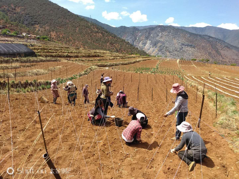 九龙村建档立卡户在家门口的白芸豆基地务工