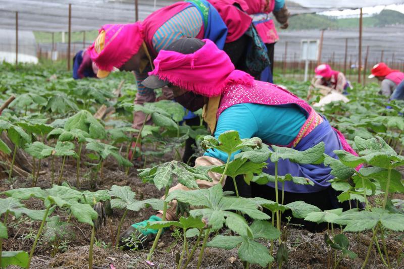 小中甸和平村中药材种植基地除草忙