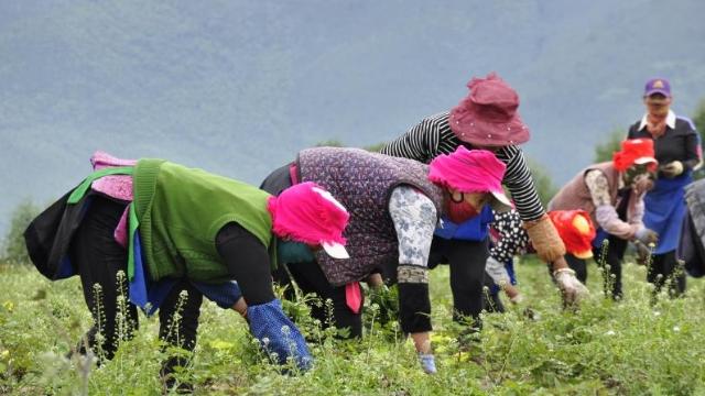 和平村村民在当归地里除杂草