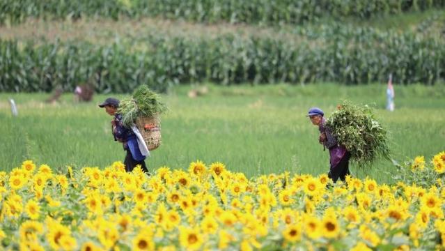 走,克维西塔城观最美向日葵