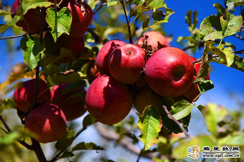 香格里拉尼西苹果熟了