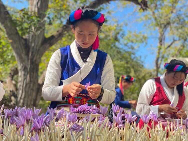 一组漂漂亮亮的藏红花,来温暖一下高原初冬