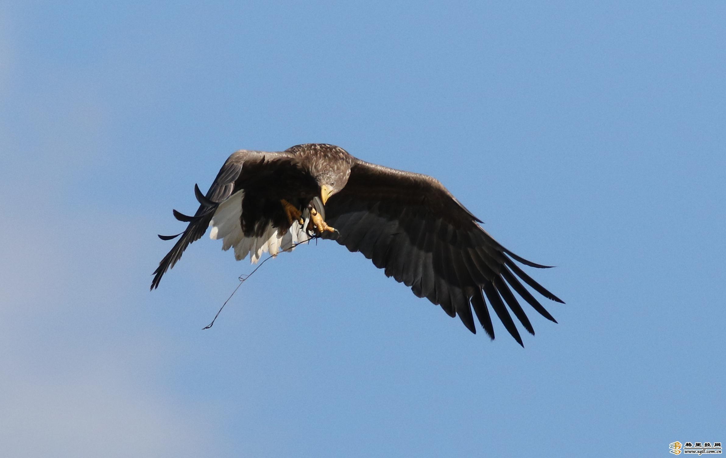香格里拉飞羽天堂——每日观鸟台   大型猛禽:白尾海雕
