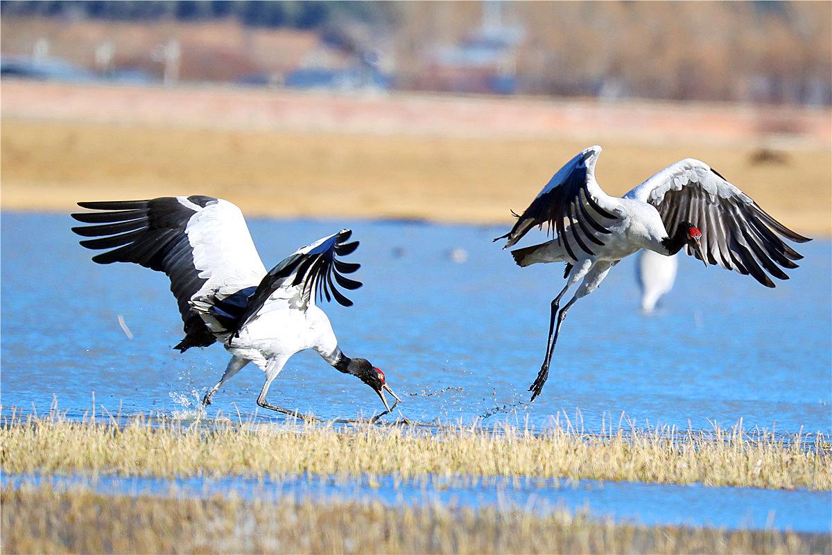 香格里拉飞羽天堂——每日观鸟台  高原之鹤:黑颈鹤