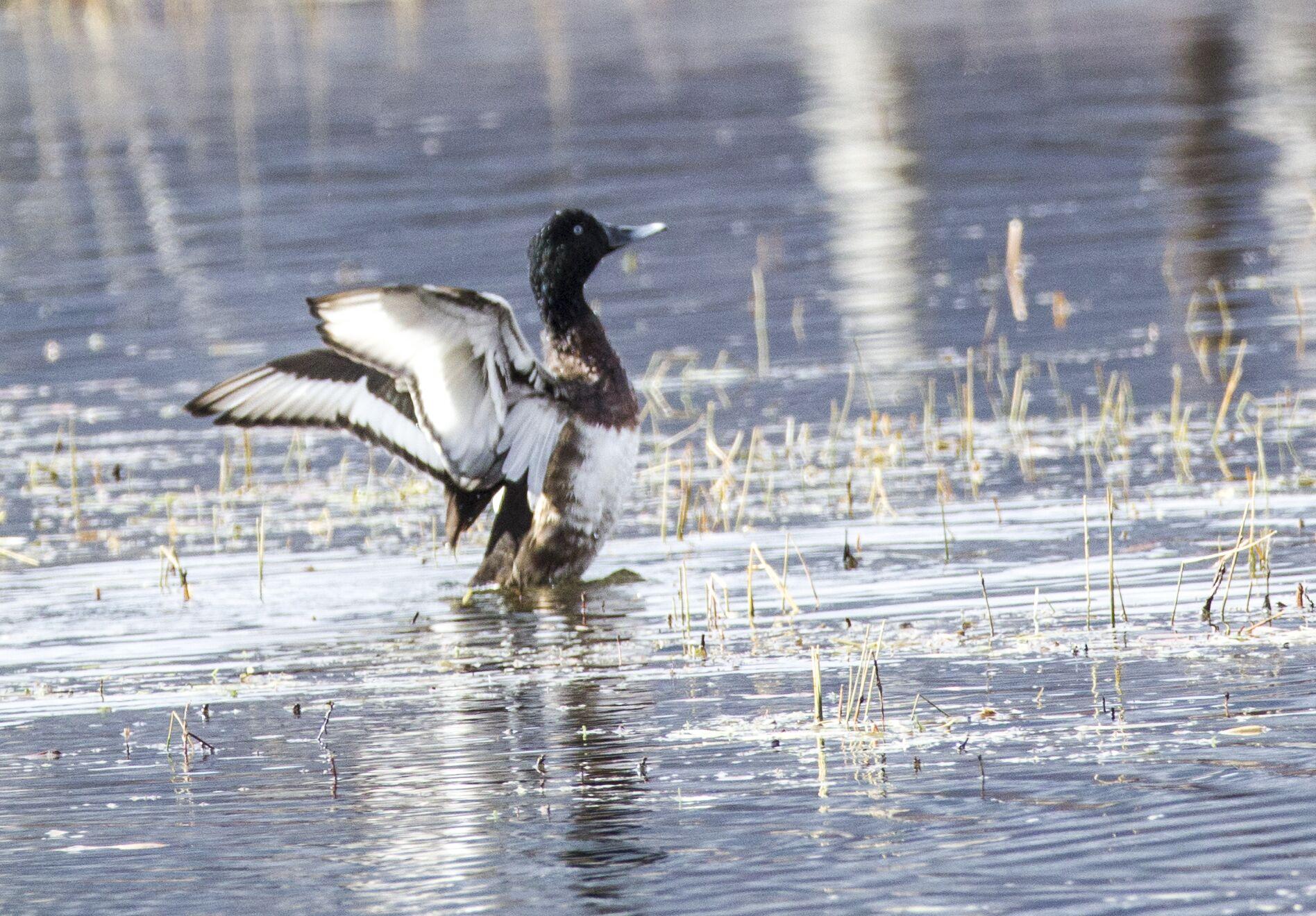 香格里拉飞羽天堂——每日观鸟台 极危珍稀水鸟 :青头潜鸭