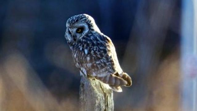 香格里拉飞羽天堂——每日观鸟台 夜空精灵——短耳鸮