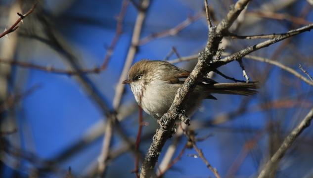 香格里拉飞羽天堂——每日观鸟台 鸟中小胖:高山雀鹛