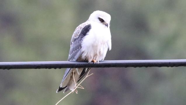 香格里拉飞羽天堂——每日观鸟台 空中小霸王——黑翅鸢