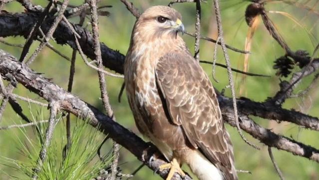 香格里拉飞羽天堂——每日观鸟台  中型猛禽:普通鵟