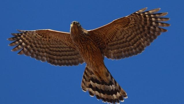 香格里拉飞羽天堂——每日观鸟台  雀鸟杀手:雀鹰