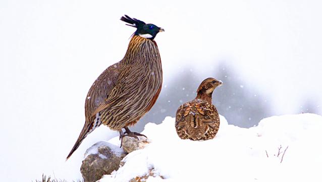 香格里拉飞羽天堂——每日观鸟台  丛林中的王者 勺鸡