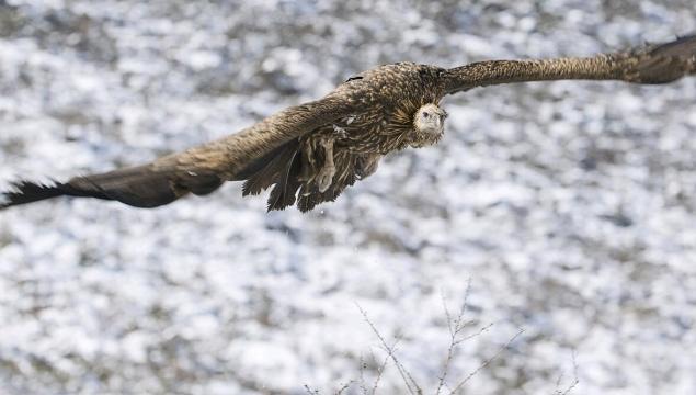 香格里拉飞羽天堂——每日观鸟台 大型猛禽——高山兀鹫