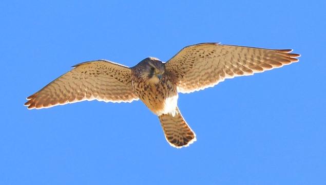 香格里拉飞羽天堂——每日观鸟台 红隼