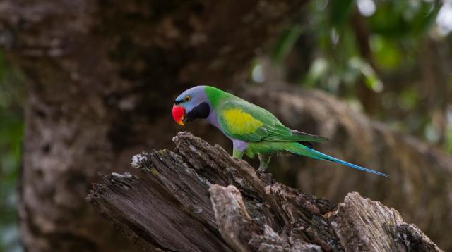 香格里拉飞羽天堂——每日观鸟台 大紫胸鹦鹉
