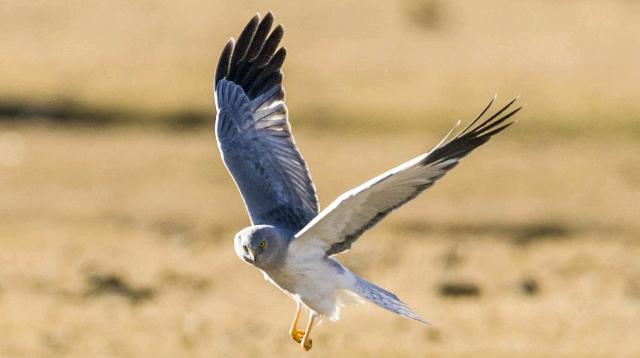 香格里拉飞羽天堂——每日观鸟台 中型猛禽——白尾鷂