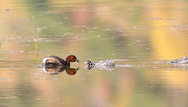 香格里拉飞羽天堂——每日观鸟台 潜水抓鱼能手——小鸊鷉