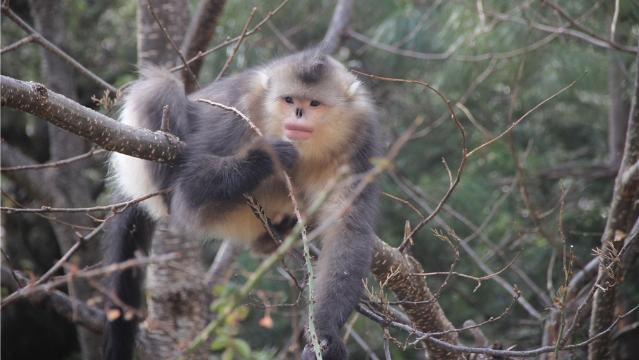 冬日滇金丝猴国家公园猴群乐