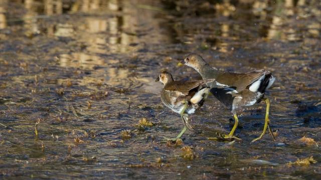 香格里拉飞羽天堂——每日观鸟台 会游泳的鸡——黑水鸡