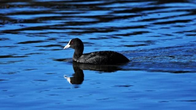 【香格里拉飞羽天堂——每日观鸟台】湿地小精灵——骨顶鸡