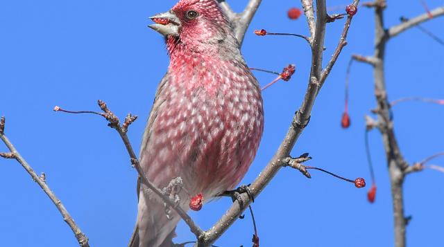 香格里拉飞羽天堂——每日观鸟台 拟大朱雀
