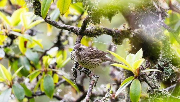 香格里拉飞羽天堂——每日观鸟台 点翅朱雀